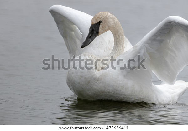swan-beating-wings-muted-palette-600w-14