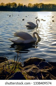 Swan in the beautiful sunset over the lake
