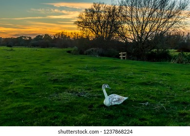 A swan beds down on the river meadow of the river Stour at sunset on the edge of Sudbury, Suffolk