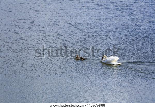 swan chased ducks