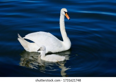 A swan with its chick floating on the water surface of a lake