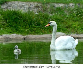 Swan chick swims in the lake