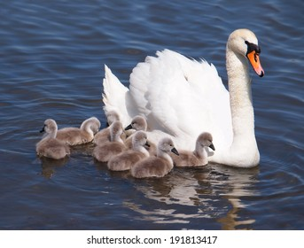 Swan with chicks, Cygnus olor