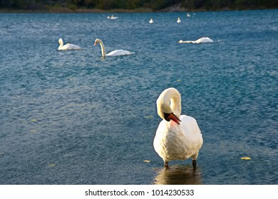 A swan cleaning its featherwith a group of white swans in the lake in background, Skradin, Croatia