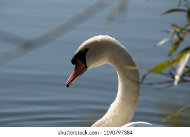Swan closeup in sunlight