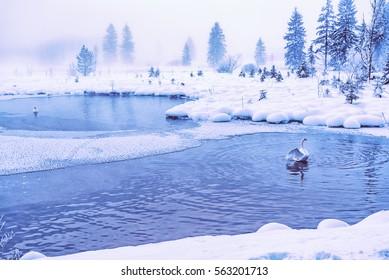 Swan in an cold mystic Lake. Taken in Almsee, an austrian alpine Lake in Salzkammergut