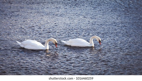 Swan couple on a river