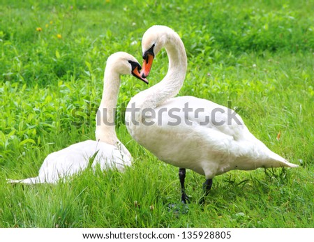 Swan couple - two swans in grass