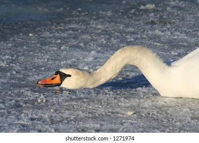 Swan crawling