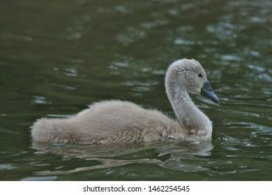 Swan, cygnet, bird, on the River Cam, Cambridgeshire, England, UK, Europe