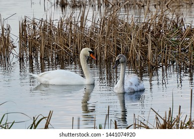 Swan and cygnet at lakeside in early spring