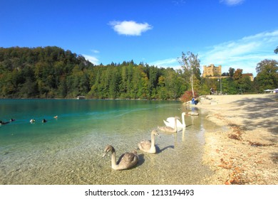A swan and it's cygnets in Alpsee Lake with Honhenschwangau Castle in the background.
