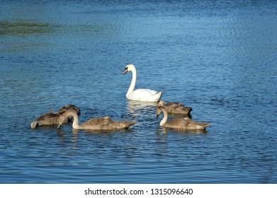 Swan and cygnets feeding on a lake.