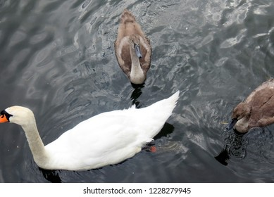 Swan and Cygnets of London