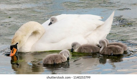 swan with cygnets one with cygnet sat on mothers back