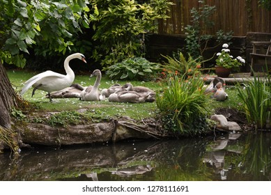 A swan and cygnets relax on a summer day along the Basingstoke Canal in Surrey