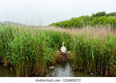 Swan and cygnets in tall grass at Abbotsbury Swannery, Dorset, UK