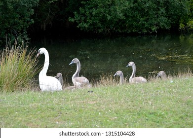 Swan and cygnets at the waters edge of a lake.