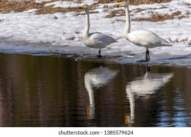 Swan (Cygnus cygnus) on the ice edge in a river bodys reflected in the water, picture from the Northern Sweden.