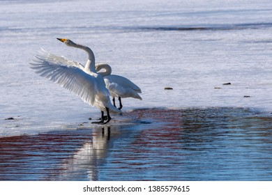 Swan (Cygnus cygnus) on the ice waving with the wings and in the foreground open water, picture from the Northern Sweden.