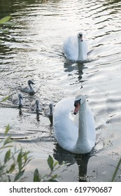 Swan with ducklings on the lake in a beautiful sunny morning