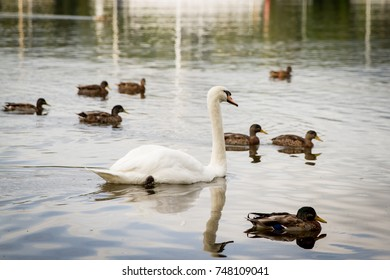 Swan with ducklings swimming in a pond