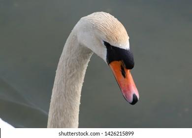 Swan face close up Poole Park Dorset England