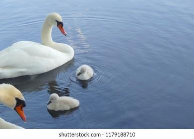 a swan family