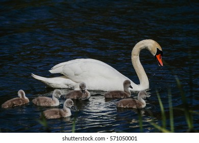 Swan Family with Baby Ducklings