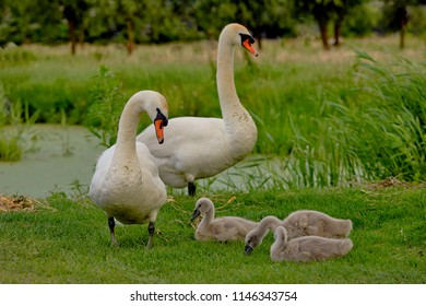 The Swan family, birds of the Cygnini tribe (anatidae) with a young swan