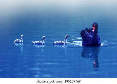 swan family in the lake