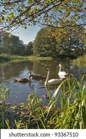 Swan family in lush green lake area.