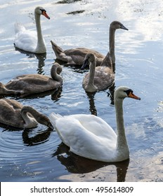 Swan family on the lake