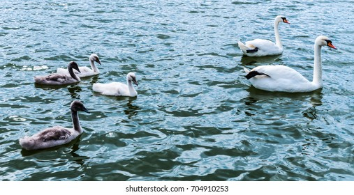 A swan family Parents and four children swim in Lake Schermützelsee from Buckow.