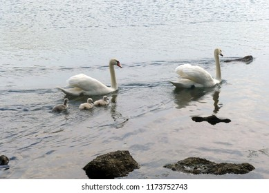 swan family is swimming