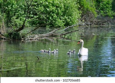 Swan family swimming in a lake