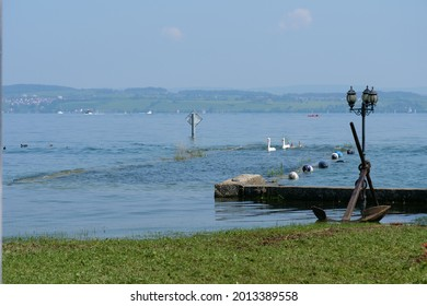 swan family swimming at shoreline to harbor of Altnau at flooding Bodensee. 20th July 2021