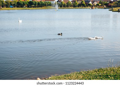 Swan family, two white old swans and some baby swans on the quiet lake under the blue sky with some green grass in the background.