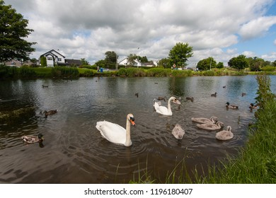 Swan family wating for food in a lake in Ireland; good weather conditions, clouds on sky