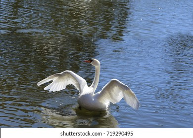 Swan flapping wings...