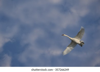 Swan flies in blue sky with light clouds.