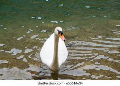 A swan floating on the cold waters of a mountain lake