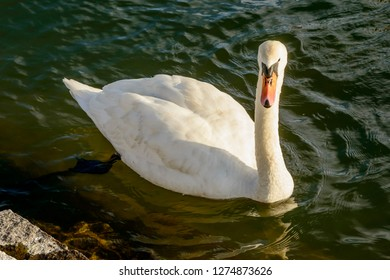 swan floating on waters of Verbano lake, shot in bright winter light at Angera, Verbano, Varese, Lombardy, Italy