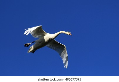 Swan flying over the River Danube at Zemun in the Belgrade Serbia.