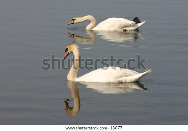 swan gliding on lake