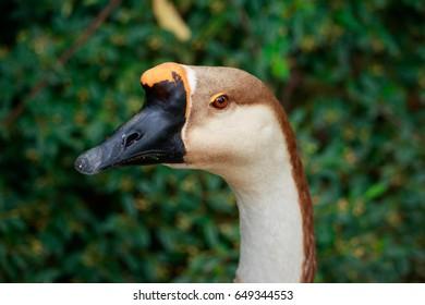 Swan goose in pose, anser cignoides portrait