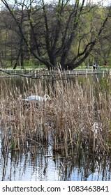 swan in grass in lake/pond in park in prague in czech republic