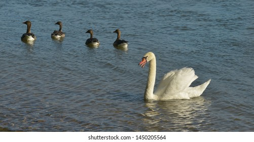Swan with gray geese in the river