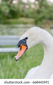 Swan head