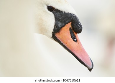 Swan head Close-up
